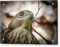 Red-shouldered Hawk Fledgling 3 Acrylic Print