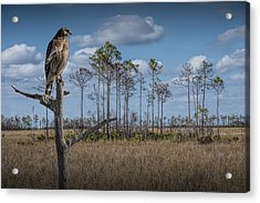Red Shouldered Hawk In The Florida Everglades Acrylic Print