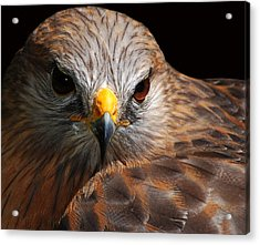 Red-shouldered Hawk Acrylic Print