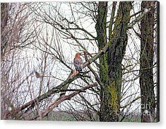 Red Shouldered Hawk Acrylic Print by Wingsdomain Art and Photography