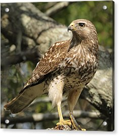 Acrylic Print featuring the photograph Red Shouldered Hawk With Prey by Bradford Martin
