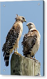 Red-shouldered Hawks Making Out Acrylic Print by Phil Stone