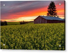 Red Sky Over Canola Acrylic Print by Mark Kiver