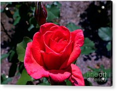 Red Splendor Acrylic Print by David Bishop