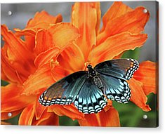 Acrylic Print featuring the photograph Red Spotted Fritillary by Kristin Elmquist