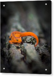Red Spotted Newt Acrylic Print by Chris Bordeleau