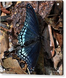 Acrylic Print featuring the photograph Red Spotted Purple Admiral by Skip Willits