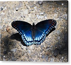Red-spotted Purple Butterfly Acrylic Print