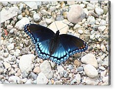 Red Spotted Purple Acrylic Print by Jeff VanDyke