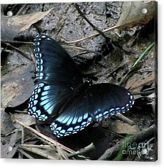 Acrylic Print featuring the photograph Red Spotted Purple Swallowtail Butterfly by Donna Brown