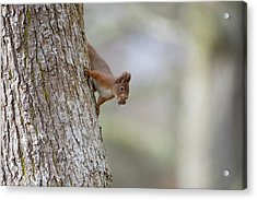 Red Squirrel Climbing Down A Tree Acrylic Print