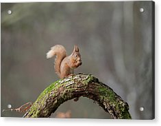 Red Squirrel Eating A Hazelnut Acrylic Print