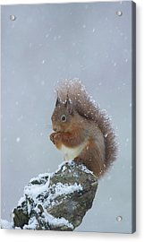 Red Squirrel In A Blizzard Acrylic Print