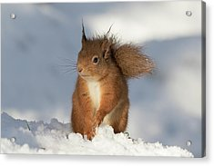 Red Squirrel In The Snow Acrylic Print
