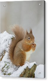 Red Squirrel In The Snow Side On Acrylic Print