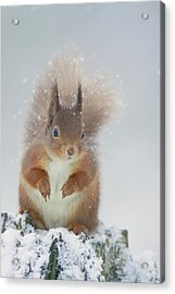Red Squirrel In Winter Acrylic Print
