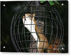 Red Squirrel Jail Acrylic Print
