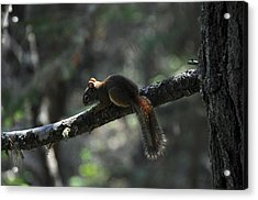 Red Squirrel Acrylic Print by John Ricker