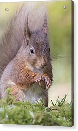 Red Squirrel - Scottish Highlands #1 Acrylic Print