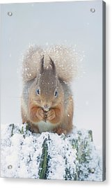 Red Squirrel Nibbles A Nut In The Snow Acrylic Print