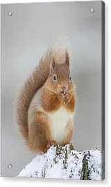 Red Squirrel Nibbling A Hazelnut In The Snow Acrylic Print