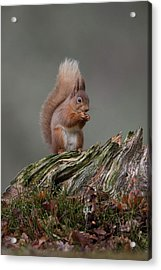 Red Squirrel Nibbling A Nut Acrylic Print