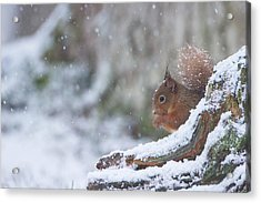 Red Squirrel On Snowy Stump Acrylic Print