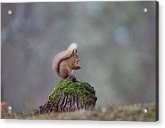 Red Squirrel Peeling A Hazelnut Acrylic Print
