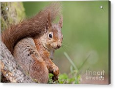 Red Squirrel - Scottish Highlands  #17 Acrylic Print
