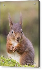 Red Squirrel - Scottish Highlands #18 Acrylic Print