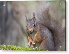 Red Squirrel - Scottish Highlands #26 Acrylic Print