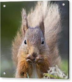 Red Squirrel - Scottish Highlands #28 Acrylic Print