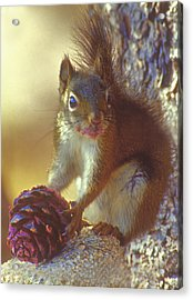 Red Squirrel With Pine Cone Acrylic Print