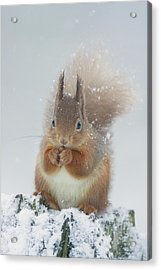 Red Squirrel With Snowflakes Acrylic Print
