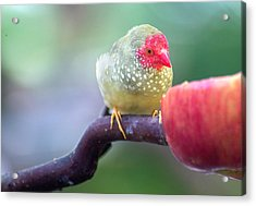 Red Star Finch Acrylic Print