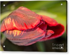 Red Striped Tulip Acrylic Print