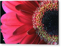 Red Sun Acrylic Print by Gina Cormier