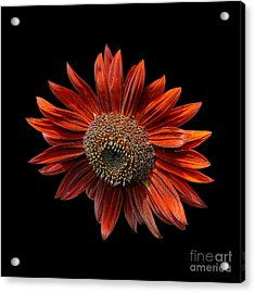 Red Sunflower On Black Acrylic Print