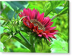 Red Sunflower Acrylic Print by Sharon Talson