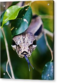 Red Tail Boa Acrylic Print by Ron Dubin