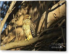 Red Tail Hawk Acrylic Print by Marc Bittan