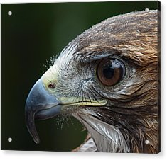 Red Tail Hawk Misted Acrylic Print by Peter Gray