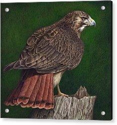 Red Tail Hawk Acrylic Print by Pat Erickson