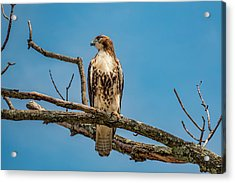 Red Tail Hawk Perched Acrylic Print