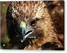Acrylic Print featuring the photograph Red-tail Hawk Portrait by Anthony Jones