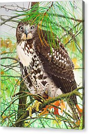 Red Tail Hawk, Thistle Acrylic Print