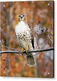 Acrylic Print featuring the photograph Red Tail In Autumn Glory by Timothy McIntyre