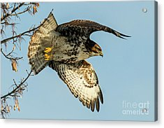 Red-tail  Takeoff Acrylic Print by Mike Dawson