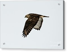 Red-tail Wings Down Acrylic Print