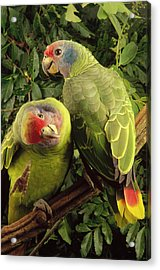 Red-tailed Amazon Amazona Brasiliensis Acrylic Print by Claus Meyer